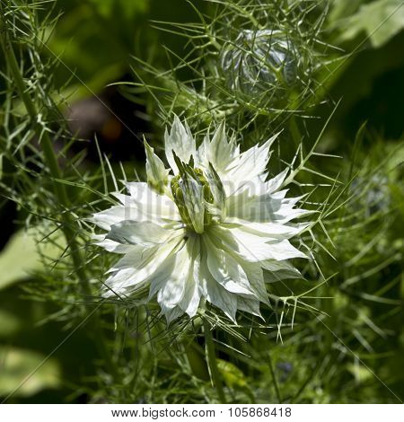 Flowering Nigella (nigella Sativa, Kalonji)