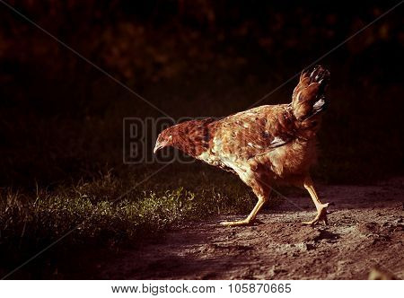 Chicken Walking