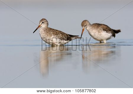 Two Walking Common Redshanks
