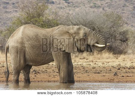 Herd African elephants drinking