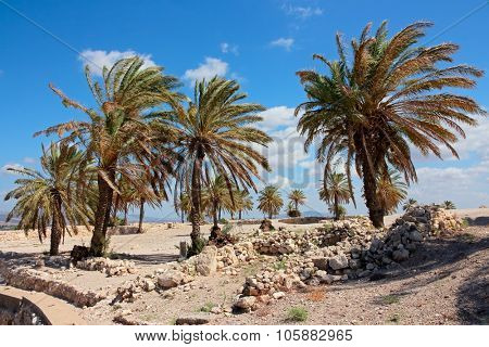 Palm trees at the Megiddo National park - a UNESCO work heritage site, northern Israel