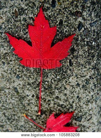 Red Sugar Maple Leaf On A Concrete Slab