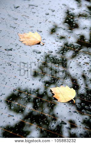Sugar Maple Leaves On A Rear Window Of A Car