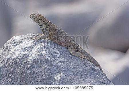 Male Lava Lizard On A Rock