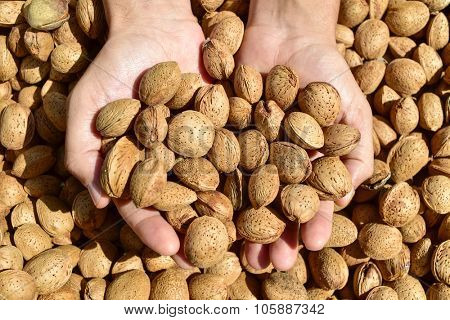 closeup of the hands of a young man with a pile of almonds in shell after harvesting