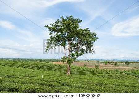 Large Tree In Tea Plantation