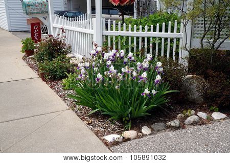 Purple and White Irises