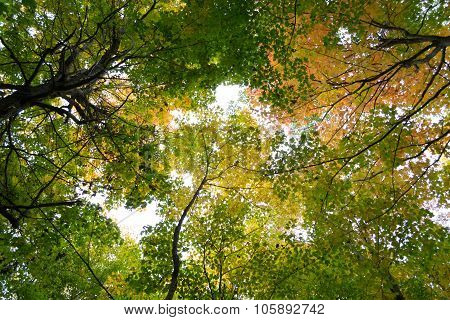 Tree Tops During The Fall