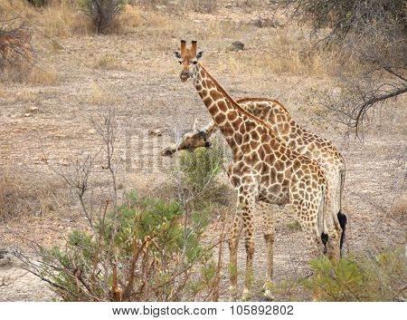 wild giraffe in Kruger National Park, South Africa.