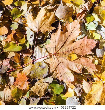 Fallen Orange Maple Leaf In Leaf Litter In Autumn