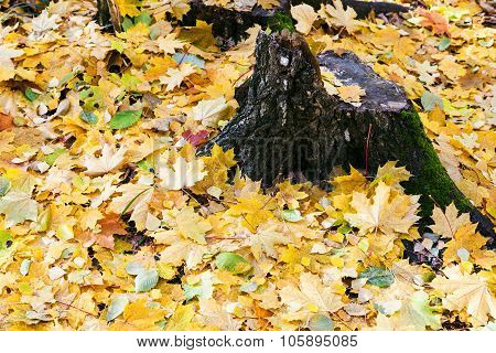 Yellow Leaf Litter And Old Stump In Autumn