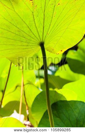 Green Big Leaf Of Lotus Illuminated By Sunlight