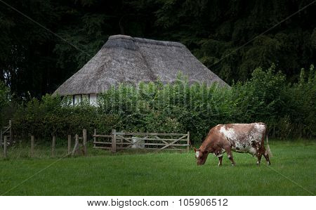 Ayrshire dairy cow