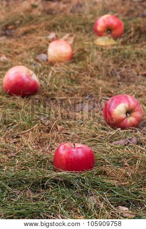 Apples Scattered On The Withered Grass