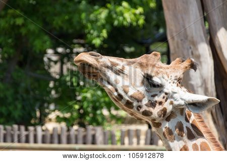 Giraffe Looks Upwards