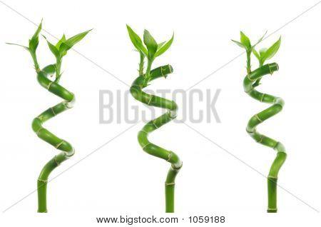 Lucky Bamboo Trio