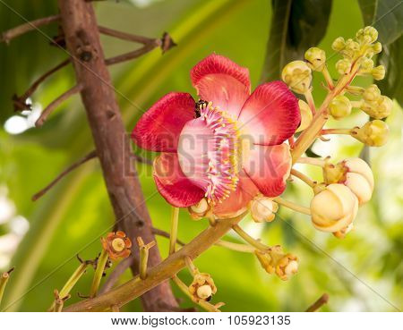 Flowers, Cannonball Tree, Is A Large Deciduous Tree.