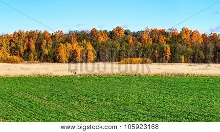 Green field with colorful trees on the horizon. Autumn landscape