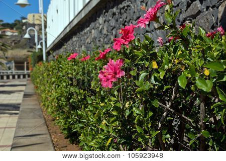 Green hedge with red hibiscus flowers