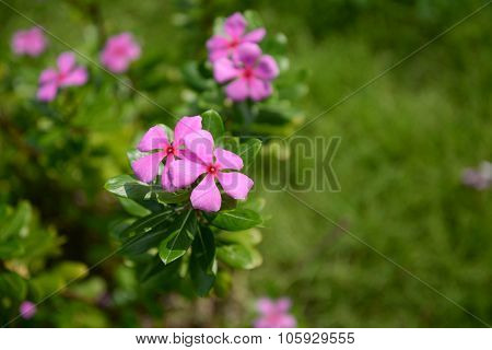 Pink Rosy Periwinkle Flower
