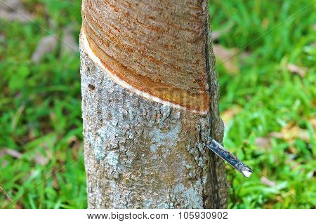 Close Up Of Rubber Tree Being Tapped