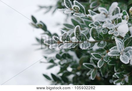 Christmas, winter background with frosty boxtree.