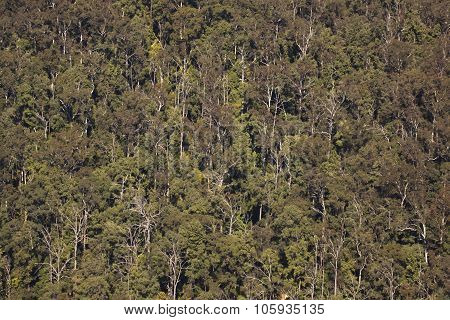 Eucaliptus Trees Viewed From Above