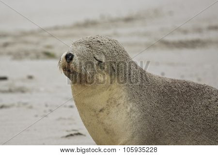 Australian Sea Lion,sa, Kangaroo Island,australia