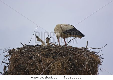 White Stork With Her Chicks