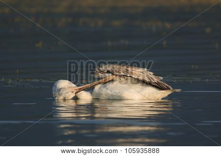 Dalmatian Pelican Of Lake Kerkini