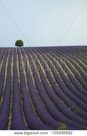 Lonely Tree On A Lavender Field