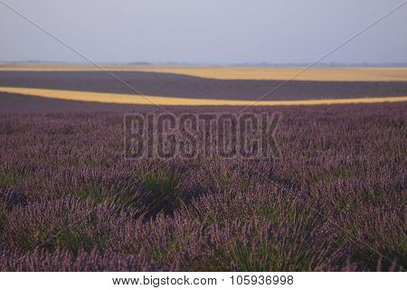 Lavender And Wheat Field Of Valensole, Provence