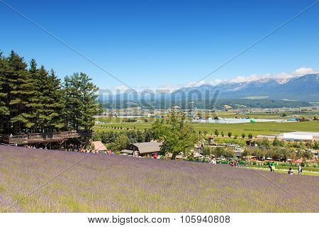 Furano, Japan - July 8,2015: Lavender Field In Furano, Hokkaido With Some Tourists Walking By In The