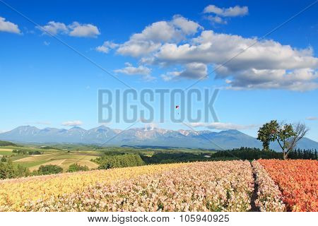 Flower Garden In Kamifurano, Hokkaido, With Mountain View. On Background A Paraglider And Many Touri