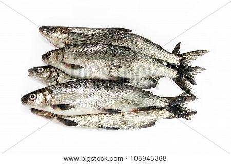 Fresh Whitefish On A White Background