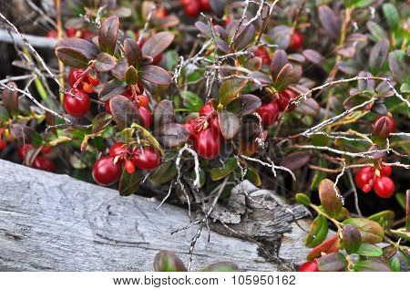 Ripe Cowberry.