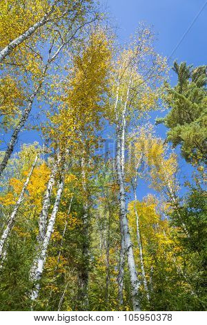 White Birch Trees (betula Papyrifera) In Autumn Against A Blue Sky
