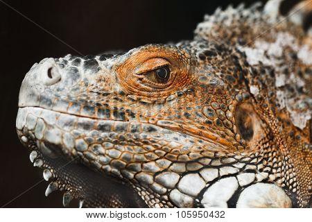 Iguana On A Black Background