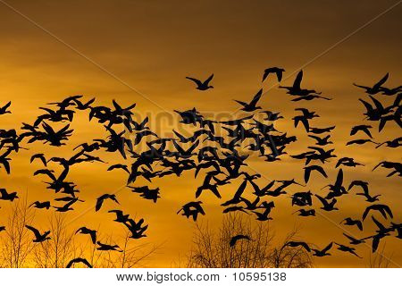Flock of flying snow geese