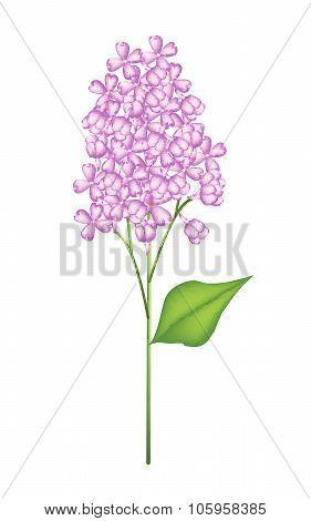 Purple Lilac Or Syringa Vulgaris On White Background