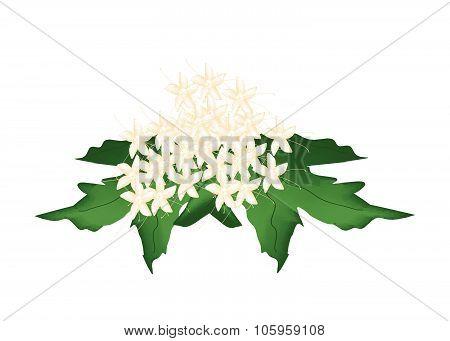 Beautiful Clerodendrum Paniculatum Flowers Or Pagoda Flowers