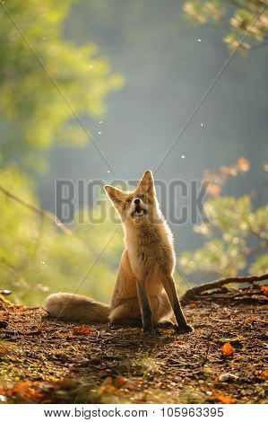Red Fox Siitng In Backlight During Indian Summer