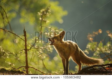 Red Fox Lick It Self In Beauty Backllight
