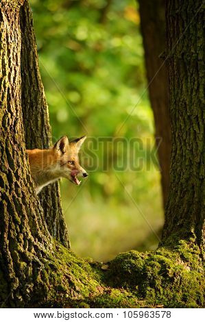 Red Fox Behind Tree Trunk Peep A Lick It Self