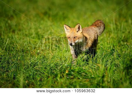 Red Fox Standing In Green Grass