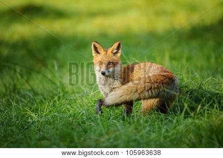 Red Fox Standing In Grass From Side