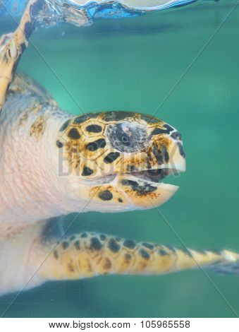 hawks bill sea turtle dive down into the deep blue ocean against
