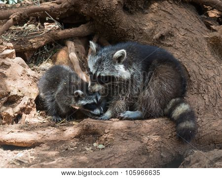 Raccoons, Mother And Cub, Zakinthos, Greece