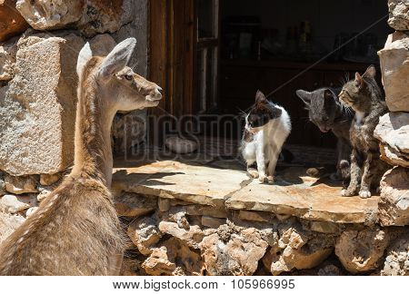 Deer Peeping In The Window And Three Cats On A Sill, Zakinthos, Greece