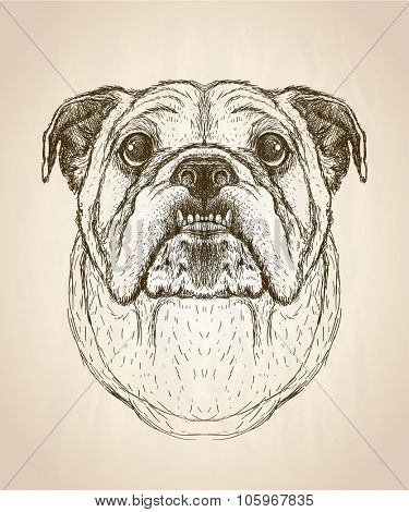 Hand drawn graphic portrait of a bulldog, front view vector illustration.